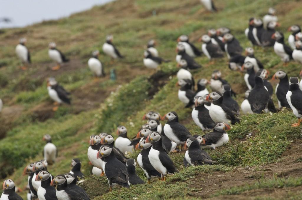 Puffins, Skomer Island, Pembrokeshire, Wales, UK, Europe