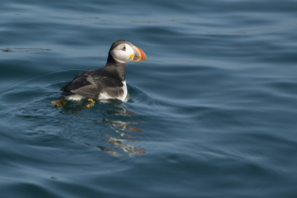 First Puffin of the Year Spotted!